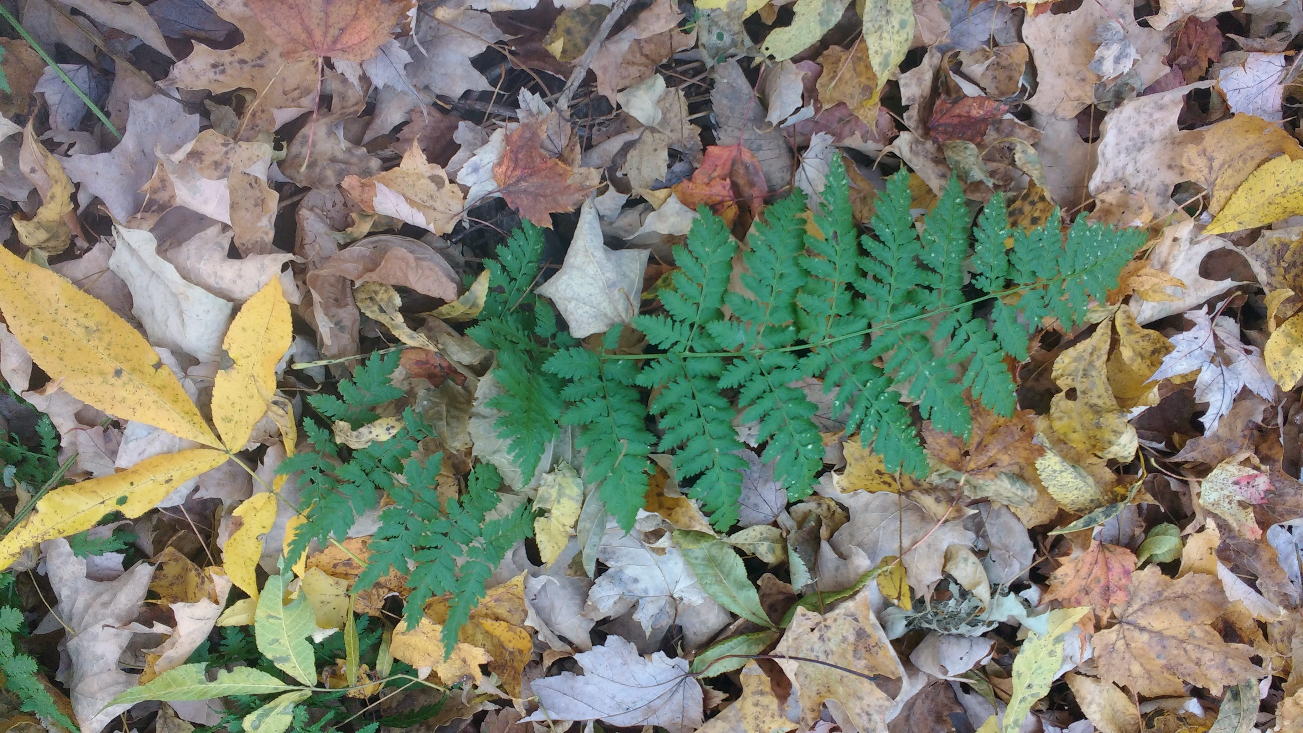 real fern